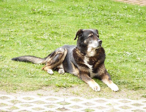 Dog Canine Mountain Crag Bernese Berner Crossbread