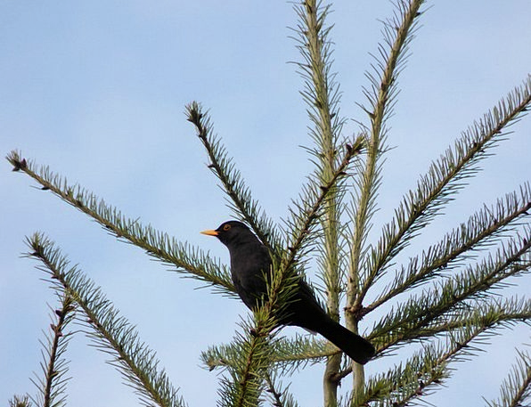 Blackbird Fowl Treetop Crown Bird Nature Countrysi
