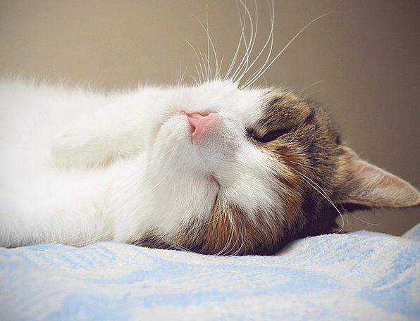Cat Animal Physical Cute Cat Furry Pet Domesticate