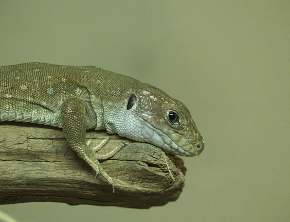 Lizard Zoo Menagerie Reptile Reptilian Cold-bloode