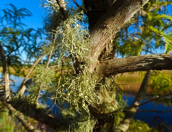 Old Man'S Beard Landscapes Nature Beard Lichen Lic