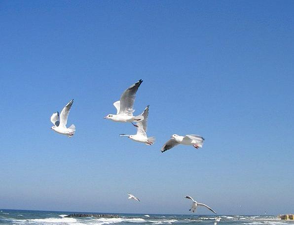 Baltic Sea Sea Marine Seagulls