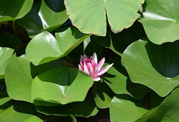 Lotus Pool Hawthorn Pond Lotus Leaf China Wind