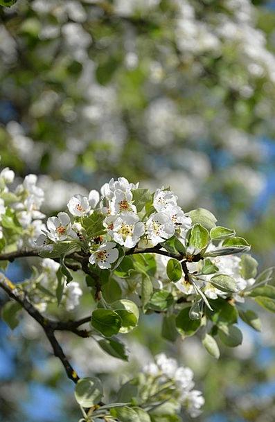 Apple Blossom Landscapes Sapling Nature Apple Tree