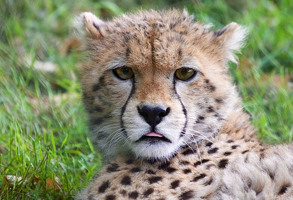 Cheetah Cub Wildlife Nature Cheetah Africa Animal