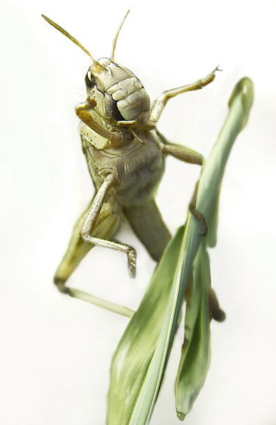 Grasshopper Grating Insect Bug Grille Grasshopper