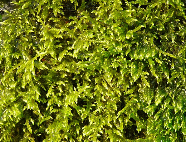 Moss Landscapes Vegetable Nature Green Lime Plant
