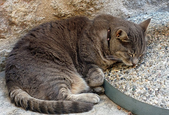 Grey Old Cat Feline Tabby Sleeping Asleep Pebbles