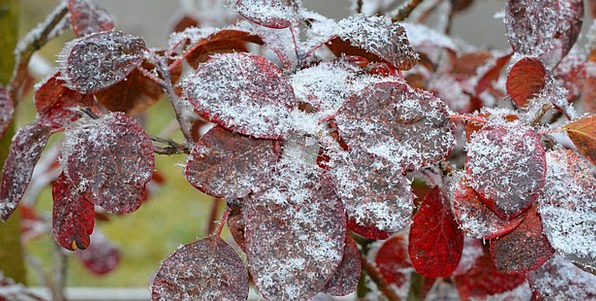 Judas Tree Greeneries Frozen Ice-covered Leaves