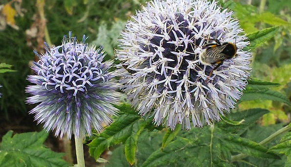 Globe Thistle Flower Floret Bee Insect Bug Flowers