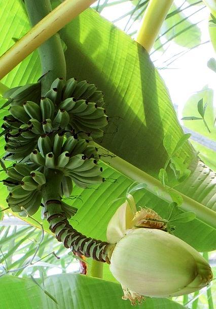Bananas Crazy Banana Flower Banana Shrub Tropical