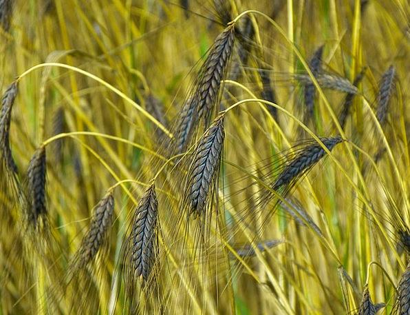 Cereals Mueslis Landscapes Nature Emmer Urkorn Agr