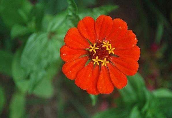 Flower Floret Red Bloodshot Zinnia Bright Cheerful