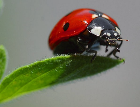 Ladybug Red Bloodshot Beetle Fauna Points Opinions