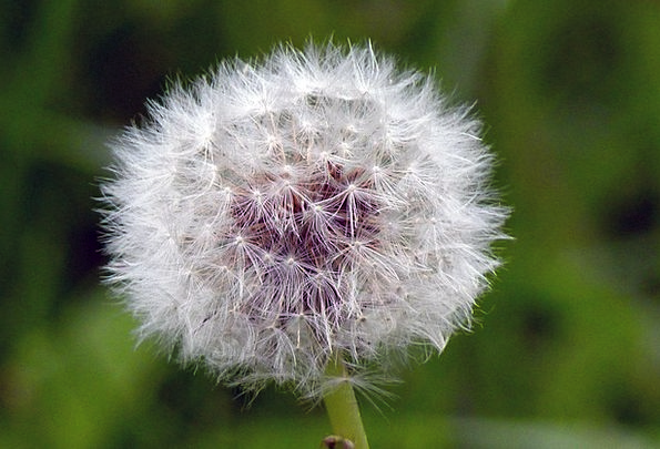 Dandelion Landscapes Floret Nature Blowball Flower