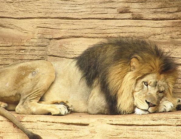 Lion Physical Wild Rough Animal Africa Wildlife Le