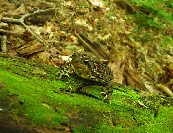Toad Landscapes Nature Woods Forests Frog Amphibia