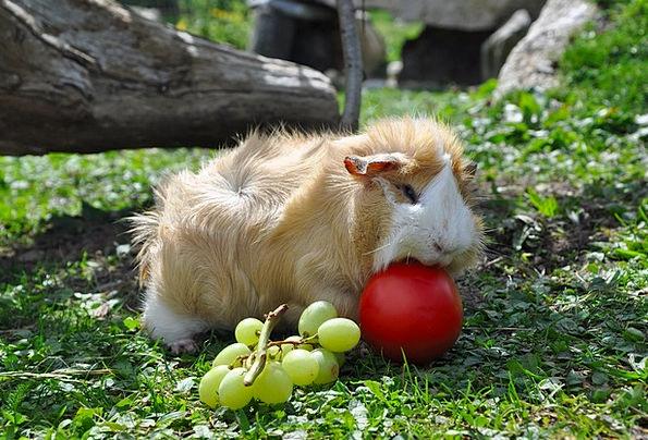 Guinea Pig Domesticated Nager Pet