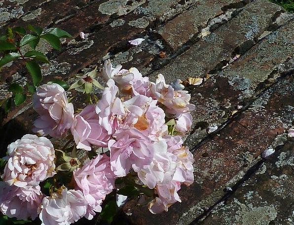 Roses Designs Landscapes Flowery Nature Plant Vege
