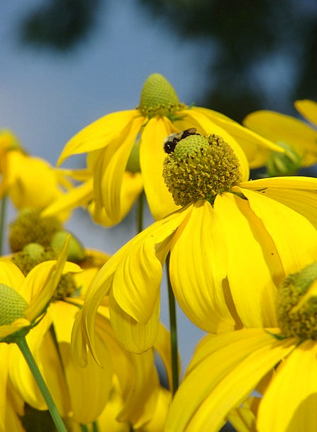 Rudbeckia Landscapes Nature Yellow Creamy Herbston