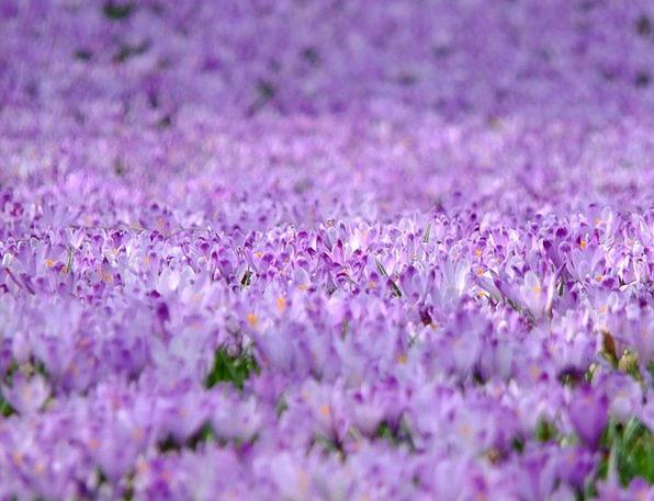 Crocus Landscapes Plants Nature Violet Mauve Flowe