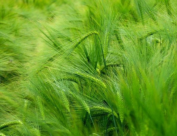 Barley Landscapes Mueslis Nature Hordeum Vulgare C