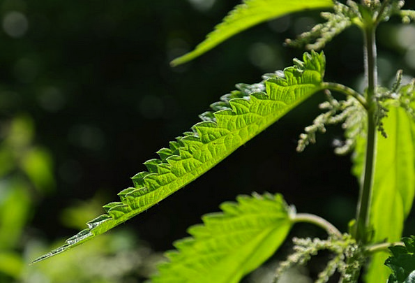 Stinging Nettle Landscapes Greeneries Nature Burni