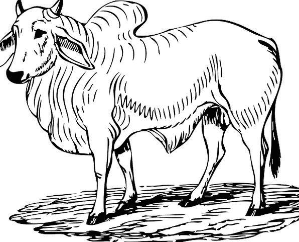 Bull Decree Animal Physical Brahman Horn Mammal Cr