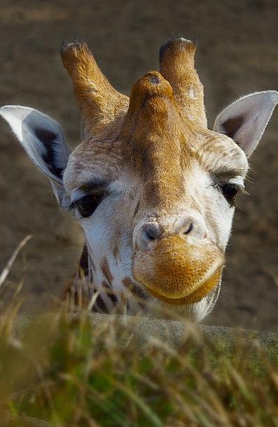 Giraffe Menagerie Good Morning Zoo Animal Physical