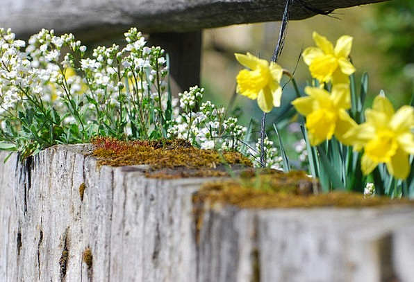 Flowers Plants Spring Coil Easter Narcissus Wall S