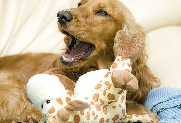 Cocker Spaniel Canine Yawn Bore Dog Animal Physica