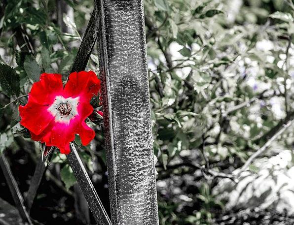 Rose Design Landscapes Bloodshot Nature Plant Vege