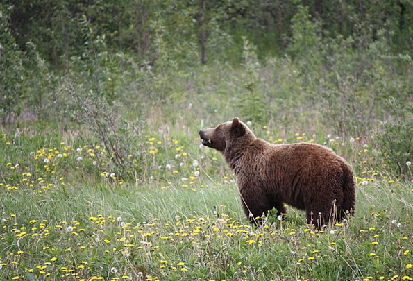 Grizzly Fractious Bear Tolerate Grizzly Bear Bears