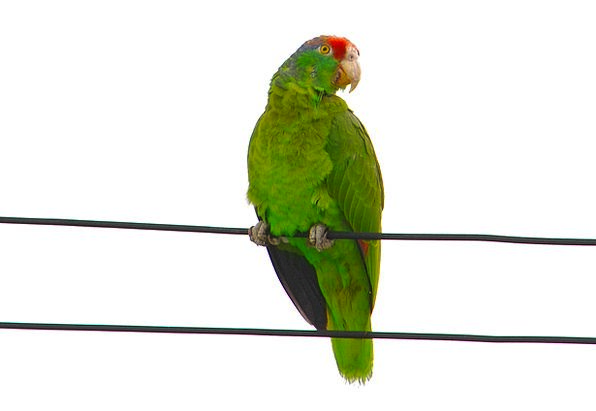 Red-Fronted Macaw Imitator Ara Parrot Rubrogenys A