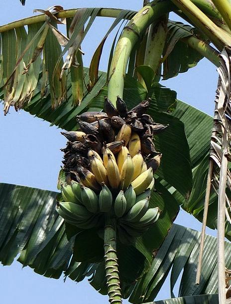 Wild Banana Ripe Ready Musa Acuminata Rotten Awful