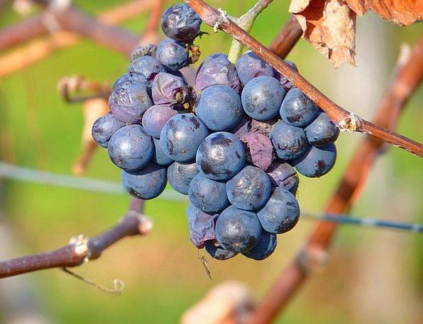 Grape Drink Food Fruit Ovary Grapes Vine Creeper C