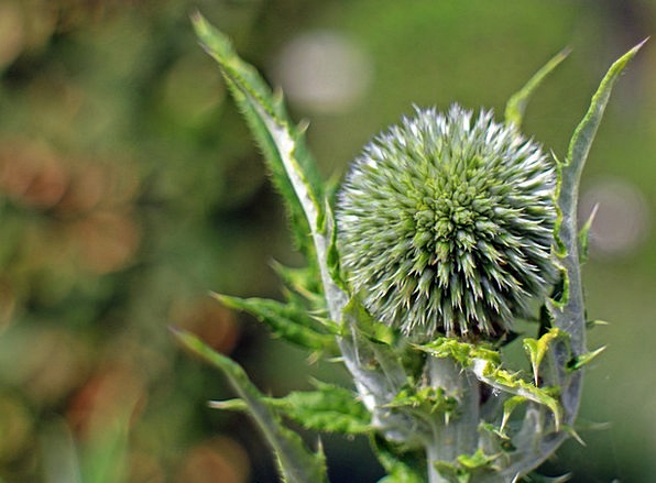 Flower Floret Landscapes Nature Echinops Globe Thi