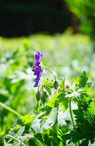 Cranesbill Landscapes Floret Nature Plant Vegetabl