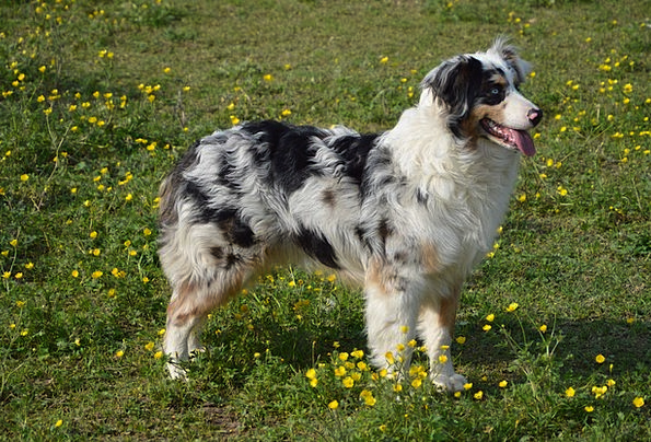 Dog Canine Australian Sheperd Young Dog Schäfer Do