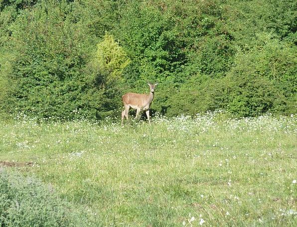 National Park Of Abruzzo Deer L'Aquila