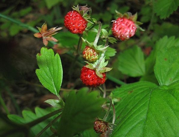 Strawberries Landscapes Nature Wild Rough Fragaria