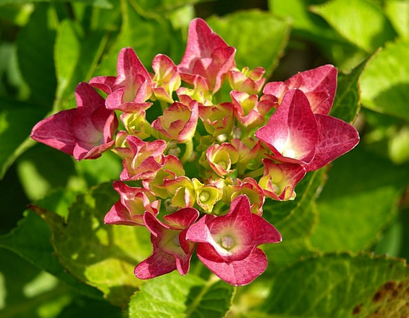 Hydrangea Flower Floret Ornamental Shrub Greenhous