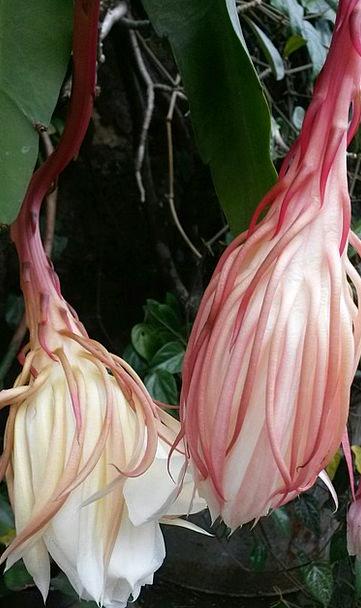 Epiphyllum Anguliger Landscapes Floret Nature Epip