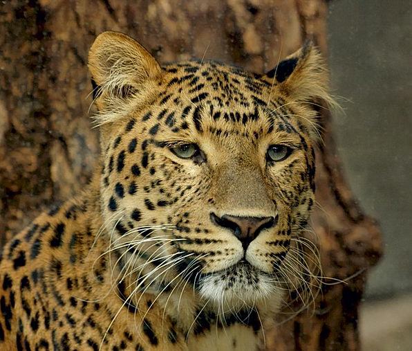 Leopard Marauder Feline Catlike Predator Big Cat C