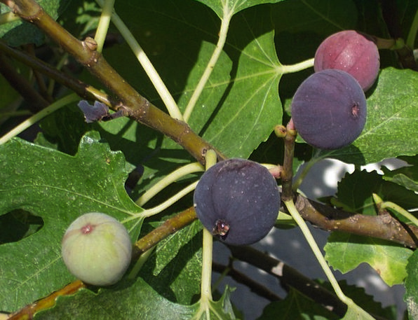 Figs Drink Food Fruits Ovaries Fig Tree Fruit Ovar