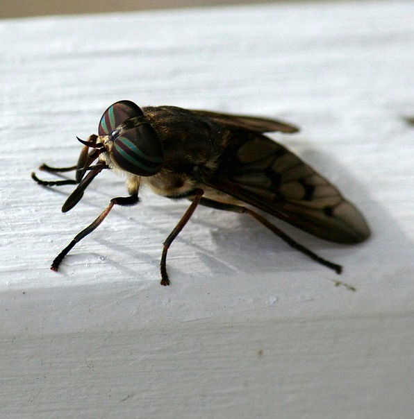 Horsefly Bug Biting Bitter Insect Sting Bloodsucki