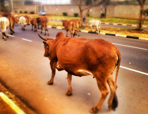 Cow Intimidate Traffic Cows Transportation Livesto