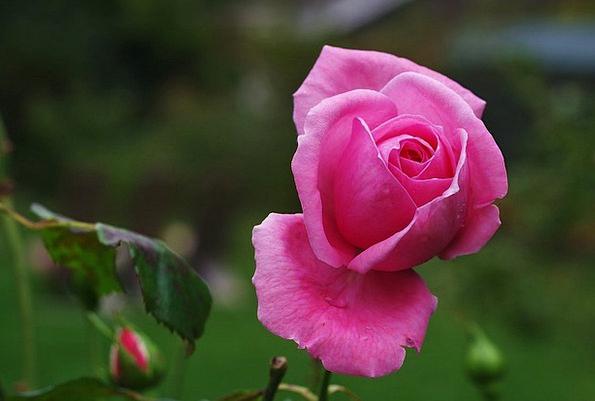 Rose Design Landscapes Floret Nature Pink Flushed