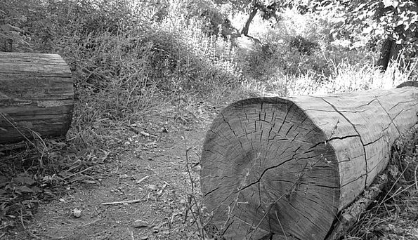 Tree Sapling Shells Black And White Ruins