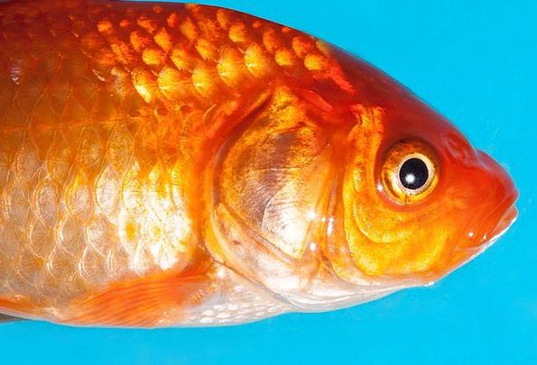 Goldfish Karpfenfisch Freshwater Fish Structure Cy